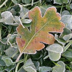 An oak leaf sitting on barrel medic covered in frost.